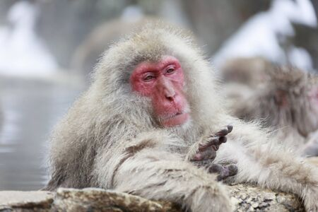 Snow monkey is concentration of hot spring now. Фото со стока
