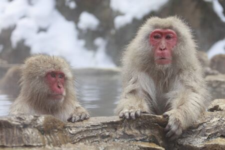 Monkey couple grooming in hot spring Фото со стока