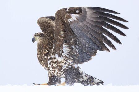 White-tailed Eagle - Hokkaido Shiretoko Peninsula - Winter Rausu Port