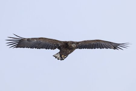 White-tailed Eagle - Hokkaido Shiretoko Peninsula - Winter Rausu Port