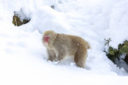 Young Japanese macaque looking for food in snowy mountains Stok Fotoğraf