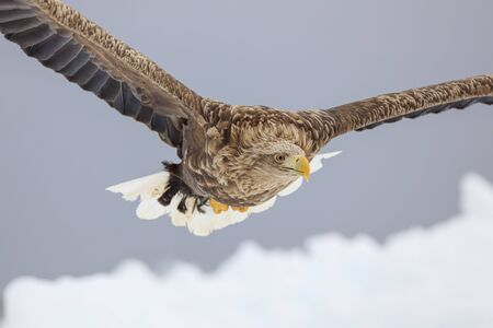 White-tailed eagle flying over ice floe Stok Fotoğraf