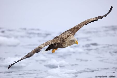 White-tailed eagle flying over ice floe
