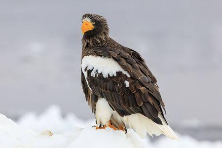 Steller's sea eagle on drift ice