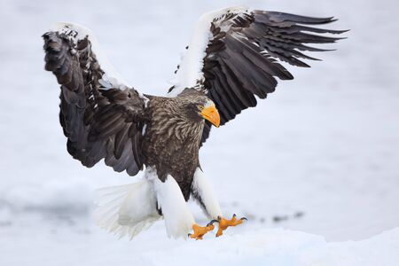 Steller's sea eagle on drift ice