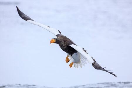 Steller's sea eagle flying over ice floe