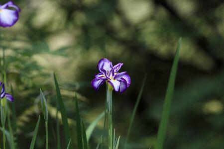 Iris flowers bloom in Tokyo in June
