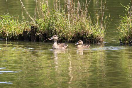Parent and child of a spot-billed duck on a walk Stok Fotoğraf