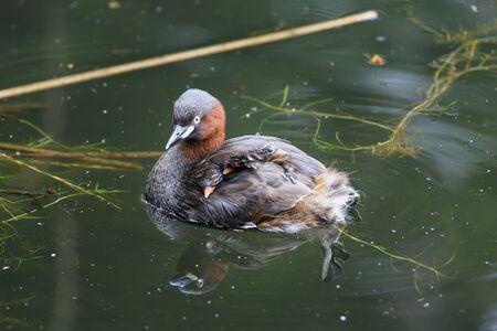 Little grebe while raising a child