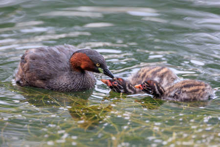 Little grebe and chicks Stok Fotoğraf