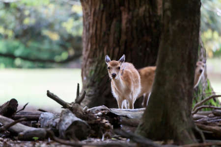 A young deer at Nara Park, Japan.