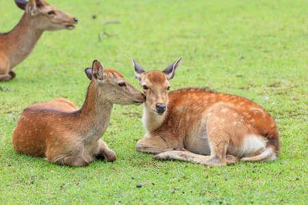 Young deer sisters I met at Nara Park in Japan.