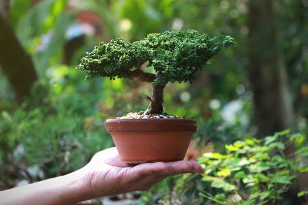 Sekka Hinoki Japanese bonsai Tree on Hand, Background in the garden. 免版税图像