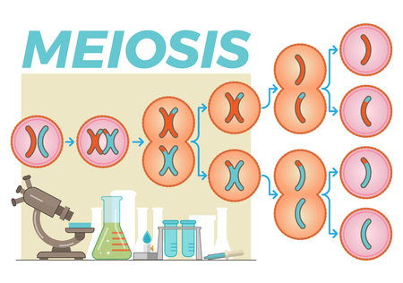 Meiosis cell division illustration Vectores