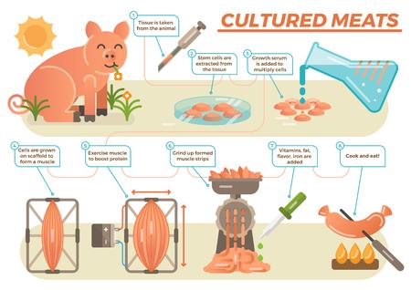 Gekweekt vleesconcept in geïllustreerde stappen die proces van het nemen van echt dierlijk weefsel tonen.