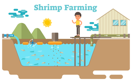 Shrimp  prawns farming aquaculture business illustration 矢量图像