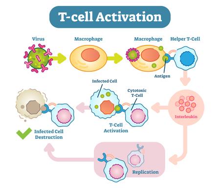 AT-Zellen oder T-Lymphozyten sind Lymphozyten (ein Subtyp der weißen Blutkörperchen), die eine zentrale Rolle bei der zellvermittelten Immunität spielen.