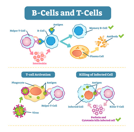 B-cells and T-cells schematic diagram, vector illustration, immune system cell functions. Stock Illustratie