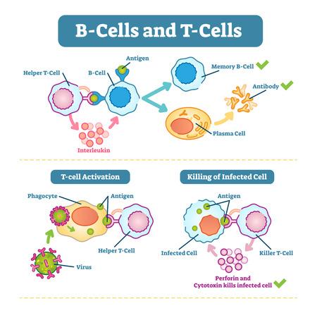 Schematyczny diagram limfocytów B i komórek T, ilustracja wektorowa, funkcje komórek układu odpornościowego. Ilustracje wektorowe