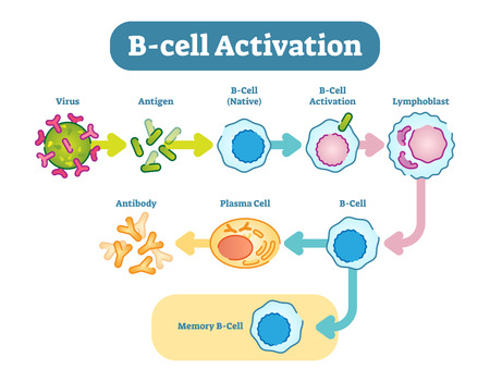 B cells, also known as B lymphocytes, are a type of white blood cell of the lymphocyte subtype. They function in the humoral immunity component of the adaptive immune system by secreting antibodies. 向量圖像