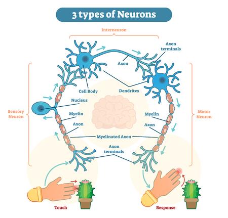 Neuron, znany również jako neuron i komórka nerwowa, jest komórką pobudliwą elektrycznie, która odbiera, przetwarza i przekazuje informacje za pomocą sygnałów elektrycznych i chemicznych.