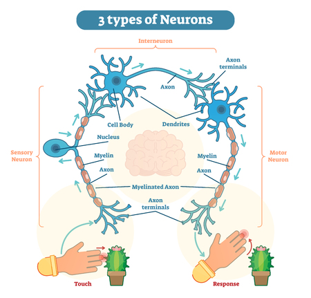 A neuron, also known as a neurone and nerve cell, is an electrically excitable cell that receives, processes, and transmits information through electrical and chemical signals.