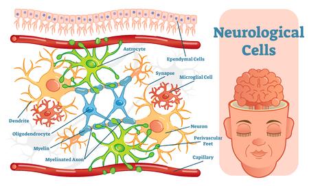 Neurologische cellen vector illustratie diagram, info-grafisch schema.