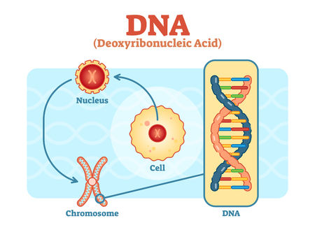 Cell - Nucleus - Chromosome - DNA, Medical vector scheme diagram illustration.