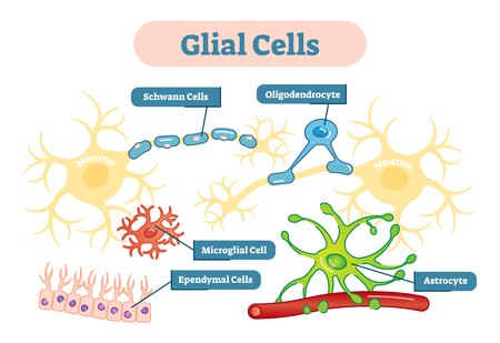 Neuroglia, also called glial cells or simply glia, are non-neuronal cells that maintain homeostasis, form myelin, and provide support and protection for neurons in the central and peripheral nervous systems. 向量圖像