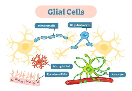 Neuroglia, auch Gliazellen oder einfach Glia genannt, sind nicht-neuronale Zellen, die die Homöostase aufrechterhalten, Myelin bilden und Neuronen im zentralen und peripheren Nervensystem unterstützen und schützen.