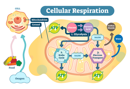 Cellular respiration is a set of metabolic reactions and processes that take place in the cells of organisms to convert biochemical energy from nutrients into adenosine triphosphate (ATP), and then release waste products.