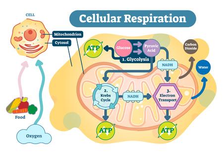 Oddychanie komórkowe to zespół reakcji i procesów metabolicznych, które zachodzą w komórkach organizmów, aby przekształcić energię biochemiczną składników odżywczych w trifosforan adenozyny (ATP), a następnie uwolnić produkty przemiany materii. Ilustracje wektorowe