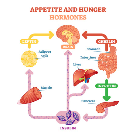 Appetite and hunger hormones vector diagram illustration, graphic educational scheme. Educational medical information. Иллюстрация