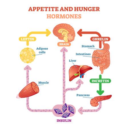 Ilustración del diagrama del vector de las hormonas del apetito y del hambre, esquema educativo gráfico. Información médica educativa.