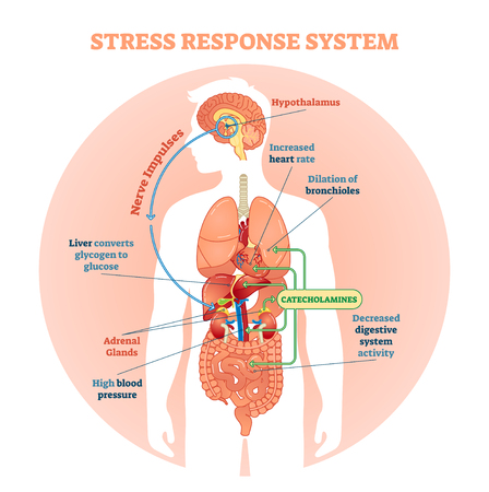 Stress response system vector illustration diagram, nerve impulses scheme. Educational medical information. Stock Illustratie