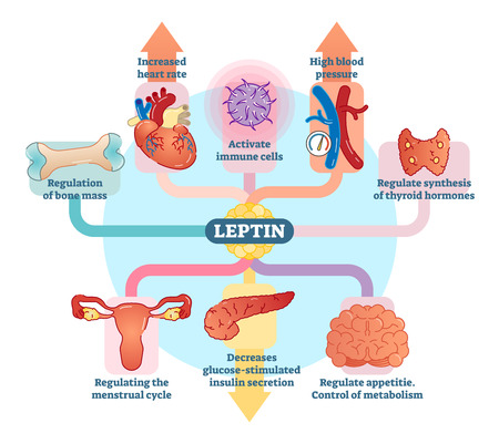 Leptin hormone role in schematic vector illustration diagram. Educational medical information.