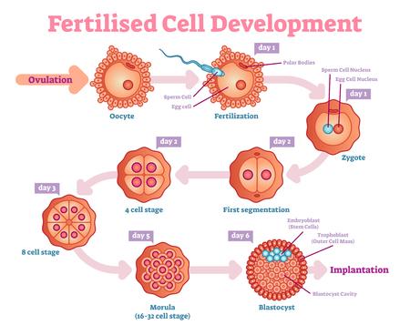 Fertilized Cell development diagram, vector illustration. Educational medical information.
