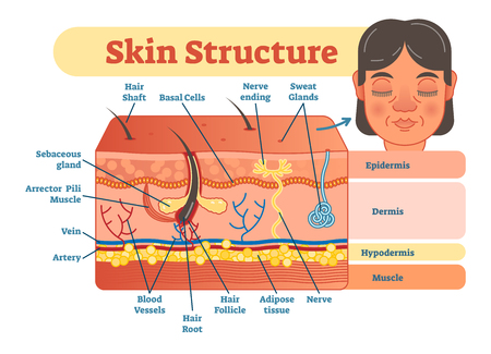 Skin structure vector illustration diagram with skin layers and main elements. Educational medical dermatology information. Vector Illustration