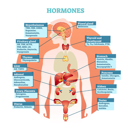 Human body hormones vector illustration diagram, human organ collection. Educational medical information.
