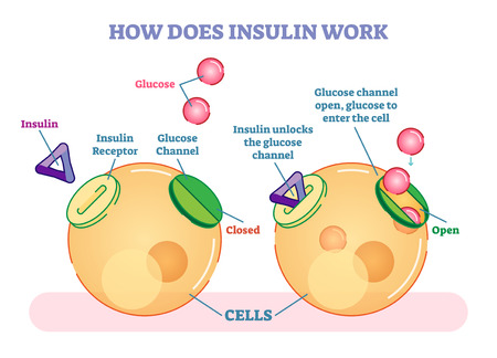 Hoe werkt insuline, geïllustreerd vectordiagram. Educatieve medische informatie. Stock Illustratie