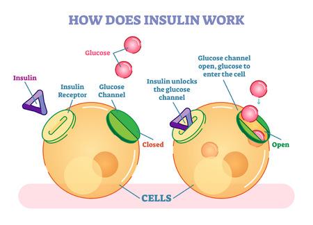Jak działa insulina, ilustrowany diagram wektorowy. Edukacyjne informacje medyczne. Ilustracje wektorowe