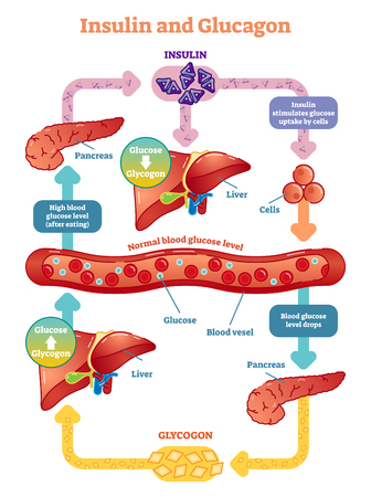 Insulin and glucagon vector illustration diagram. Educational medical information. Иллюстрация