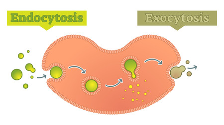 Infographic illustration of  how cell transports molecules. Illustration