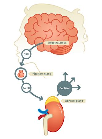 Cortisol diagram illustration scheme.