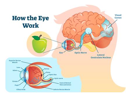 Comment fonctionnent les yeux illustration médicale, diagramme ?il-cerveau, structure de l??il et connexion avec le cerveau. Vecteurs