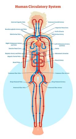 Schéma d'illustration vectorielle du système circulatoire humain, schéma des vaisseaux sanguins.