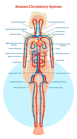 Human Circulatory System vector illustration diagram, blood vessels scheme.
