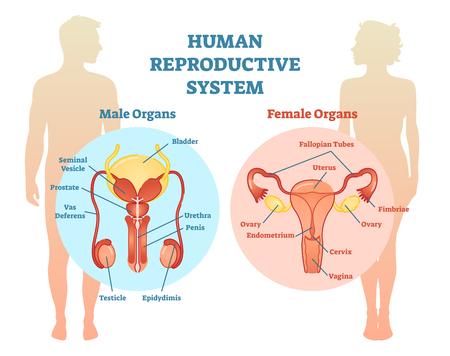 Diagrama de ilustración del vector del sistema reproductor humano, masculino y femenino. Información educativa de medicina.