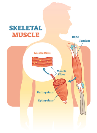 Skeletal muscle vector illustration diagram, anatomical scheme with human hand. Medical educational information. Vector Illustration