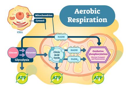 Bioanatomisches Vektorillustrationsdiagramm der aeroben Atmung. Vektorgrafik